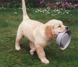 Puppy Advice and Puppy List – The Golden Retriever Club