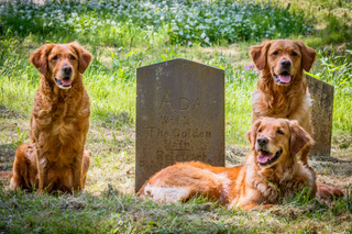 GOLDEN RETRIEVER CLUB-805